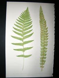 Lowe Fern 1860 Antique Botanical Print. Aspidium Thelypteroides & Mucronatum