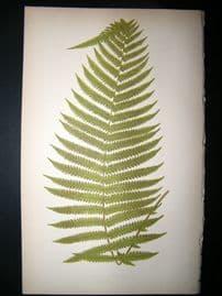 Lowe Fern 1860 Antique Botanical Print. Aspidium Truncatum