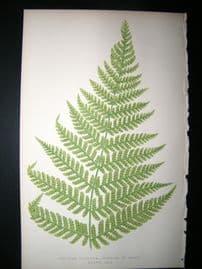Lowe Fern 1860 Antique Botanical Print. Aspidium Villosum, Portion Of Frand