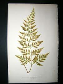 Lowe Fern 1860 Antique Botanical Print. Asplenium Adiantum-Nigrum