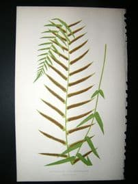 Lowe Fern 1860 Antique Botanical Print. Asplenium Angustifolium
