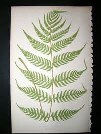 Lowe Fern 1860 Antique Botanical Print. Asplenium Axillare