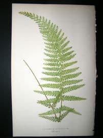 Lowe Fern 1860 Antique Botanical Print. Asplenium Cicutarium