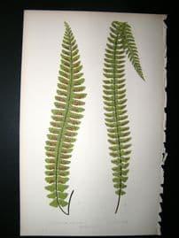 Lowe Fern 1860 Antique Botanical Print. Asplenium Denley