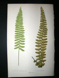 Lowe Fern 1860 Antique Botanical Print. Asplenium Dimidiatum
