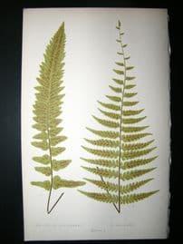 Lowe Fern 1860 Antique Botanical Print. Asplenium Henderson