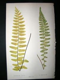 Lowe Fern 1860 Antique Botanical Print. Asplenium laetum