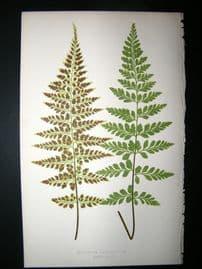 Lowe Fern 1860 Antique Botanical Print. Asplenium Lanceolatum