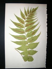 Lowe Fern 1860 Antique Botanical Print. Asplenium Macrophyllum