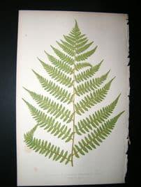 Lowe Fern 1860 Antique Botanical Print. Asplenium Michauxii