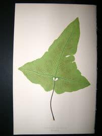 Lowe Fern 1860 Antique Botanical Print. Asplenium Palmatum