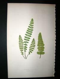Lowe Fern 1860 Antique Botanical Print. Asplenium Petrarchare