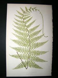 Lowe Fern 1860 Antique Botanical Print. Asplenium Rachirhizon