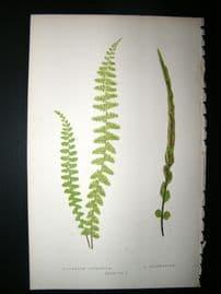 Lowe Fern 1860 Antique Botanical Print. Asplenium Refractum