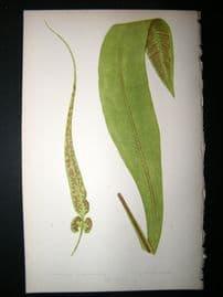 Lowe Fern 1860 Antique Botanical Print. Asplenium Rhizophyllum