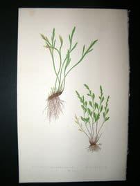 Lowe Fern 1860 Antique Botanical Print. Asplenium Septentrionale