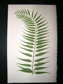 Lowe Fern 1860 Antique Botanical Print. Asplenium Serra