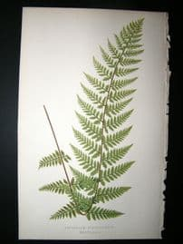Lowe Fern 1860 Antique Botanical Print. Asplenium Strigillosum