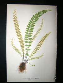 Lowe Fern 1860 Antique Botanical Print. Asplenium Trichomanes