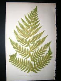 Lowe Fern 1860 Antique Botanical Print. Asplenium Umbrosum