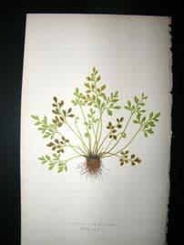 Lowe Fern 1860 Antique Botanical Print. AspleniumRuta-Muraria