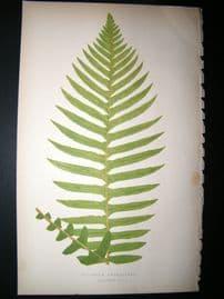 Lowe Fern 1860 Antique Botanical Print. Blechnum Brasiliense