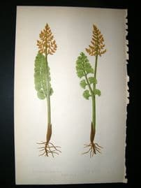 Lowe Fern 1860 Antique Botanical Print. Botrychium Luana