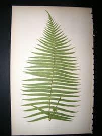 Lowe Fern 1860 Antique Botanical Print. Brainea Insignis