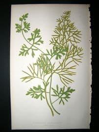 Lowe Fern 1860 Antique Botanical Print. Ceratopteris Thalictroide