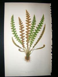 Lowe Fern 1860 Antique Botanical Print. Ceterach Officinarum