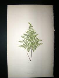 Lowe Fern 1860 Antique Botanical Print. Cheilanthes  Cuneata