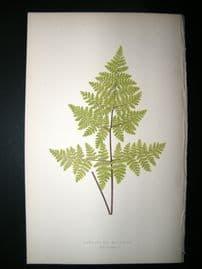 Lowe Fern 1860 Antique Botanical Print. Cheilanthes  Multifida