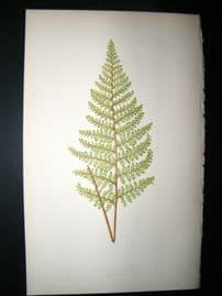 Lowe Fern 1860 Antique Botanical Print. Cheilanthes Tenuis