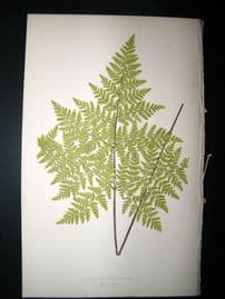 Lowe Fern 1860 Antique Botanical Print. Cheilanthes  Viscosa