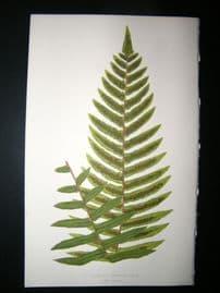 Lowe Fern 1860 Antique Botanical Print. Cyclopeltis Semicordata