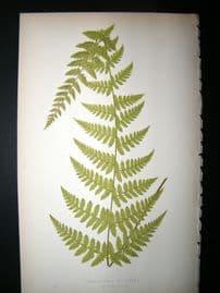 Lowe Fern 1860 Antique Botanical Print. Cystopteris Bulbifera