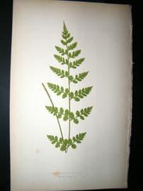 Lowe Fern 1860 Antique Botanical Print. Cystopteris Tenuis