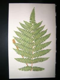 Lowe Fern 1860 Antique Botanical Print. Didymochlaena Trunatula