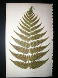 Lowe Fern 1860 Antique Botanical Print. Diplazium Ambiguum