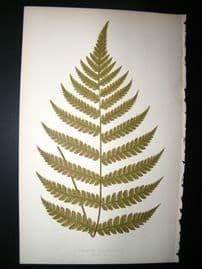 Lowe Fern 1860 Antique Botanical Print. Diplazium Decyssatum
