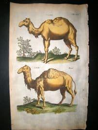 Merian & Jonston C1660 Folio Hand Col Print. Dromedary, Camel