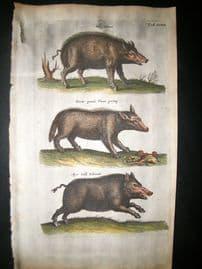 Merian & Jonston C1660 Folio Hand Col Print. Hogs, Wild Boar