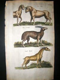 Merian & Jonston C1660 Folio Hand Col Print. Human Face Lion, Giraffe etc