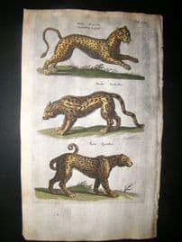 Merian & Jonston C1660 Folio Hand Col Print. Leopard, Panther, Tiger