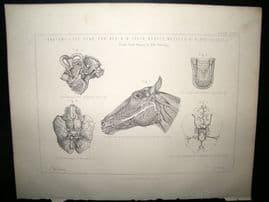 Miles Practical Farriery C1875 Antique Print. Horse Anatomy of Head, Earm Brain