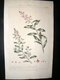 Miller 1760 Folio Hand Col Botanical Print. American Meadow Sweet