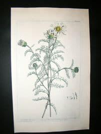 Miller 1809 Folio Hand Col Botanical Print. Athemis Spanish Chamonile 38