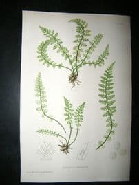 Moore Nature Printed Ferns 1860  Botanical Print. Asplenium Fontanum  67
