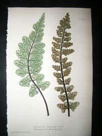 Moore Nature Printed Ferns 1860  Botanical Print.  Asplenium Marinum  73A