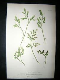 Moore Nature Printed Ferns 1860  Botanical Print. Asplenium Ruta-Muraria 79